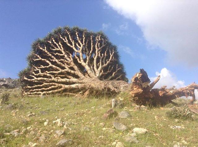 Árbol partido en Socotra tras el último ciclón