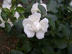 7a fiore di rosa