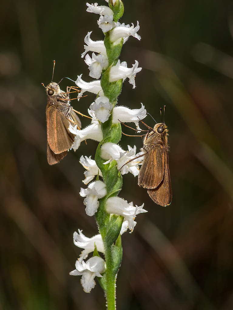 Nodding Ladies'-tresses orchid being visited by Ocola Skippers
