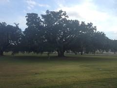Massive Live Oak