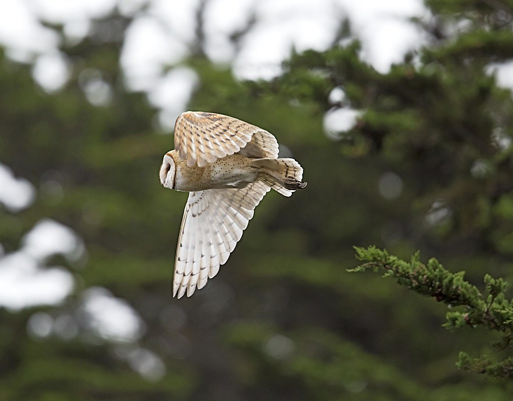 Barn Owl Taking Off the silent one ...