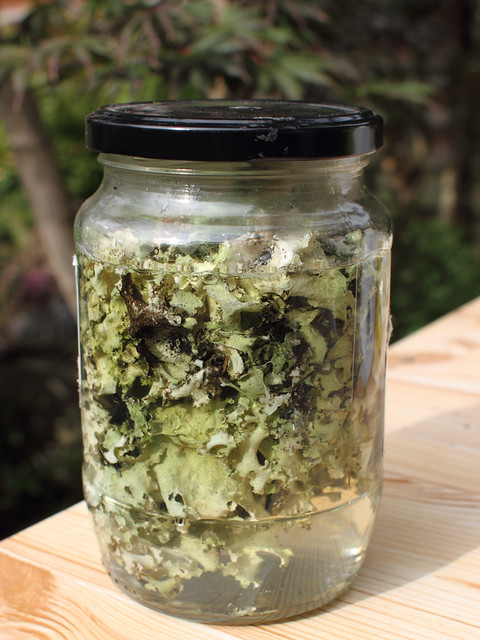 Lichen soaking in ammonia solution