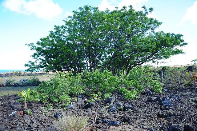 復活節島上的構樹(前排小灌木)。圖片提供、攝影:鍾國芳