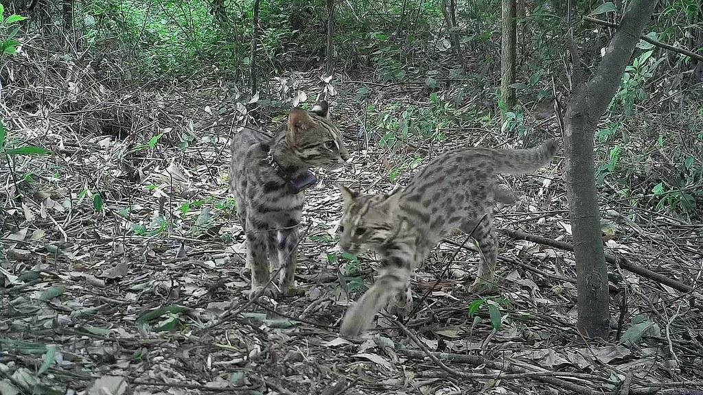 苗栗淺山是石虎重要棲地,圖為自動攝影機拍攝到的石虎親子活動。攝影:李偉傑