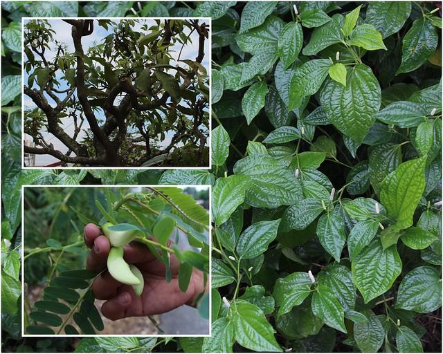 家家戶戶幾乎都會種些香料作物。攝影:廖靜蕙