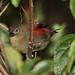 Red-faced crimsonwing, Cryptospiza reichenovii, Seldomseen, Vumba, Zimbabwe - female