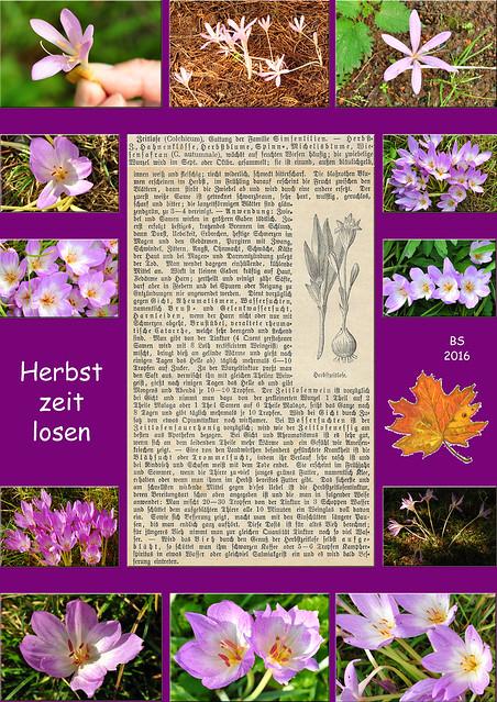 Herbst Herbstzeitlose Giftpflanze Heilpflanze Fotos und Collage: Brigitte Stolle 2016