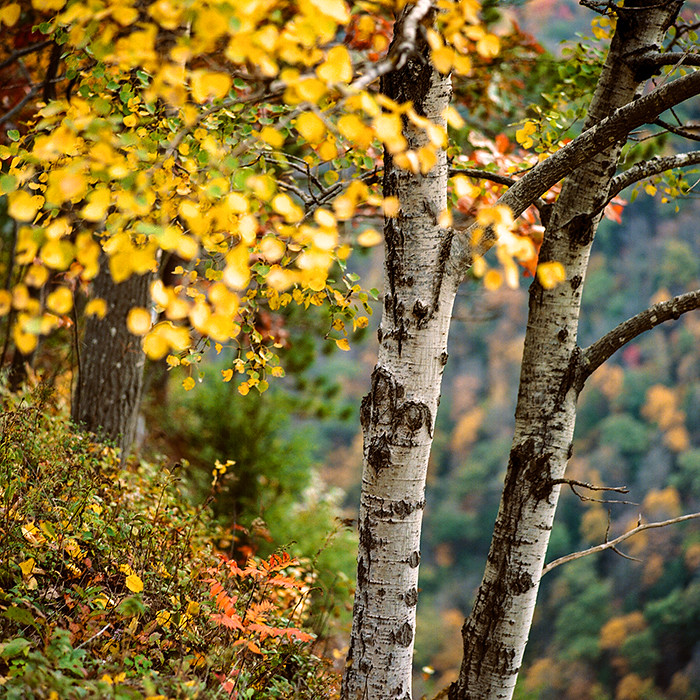 © 2016. Pine Creek Gorge in northern Pennsylvania. Tuesday, Oct. 18, 2016. Portra 400, Mamiya C220.