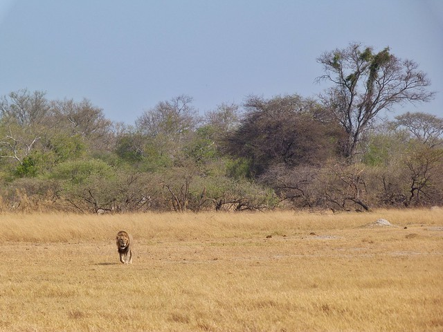 León en Moremi (Botswana)