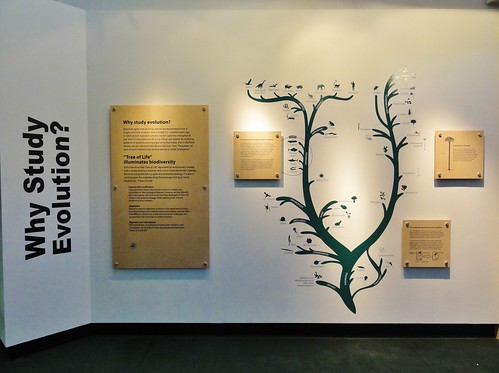Image shows a white wall with a black evolutionary tree painted on it. The words Why Study Evolution? are printed in huge letters on the smaller wall angled at the left. Parchment-colored plaques mounted around the tree explain evolution and why it's important to study.