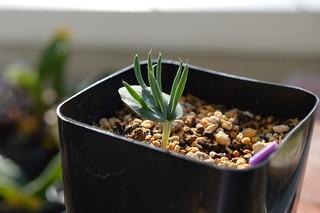 068 Eriospermum alcicorne  エリオスペルマム アルキコルネ