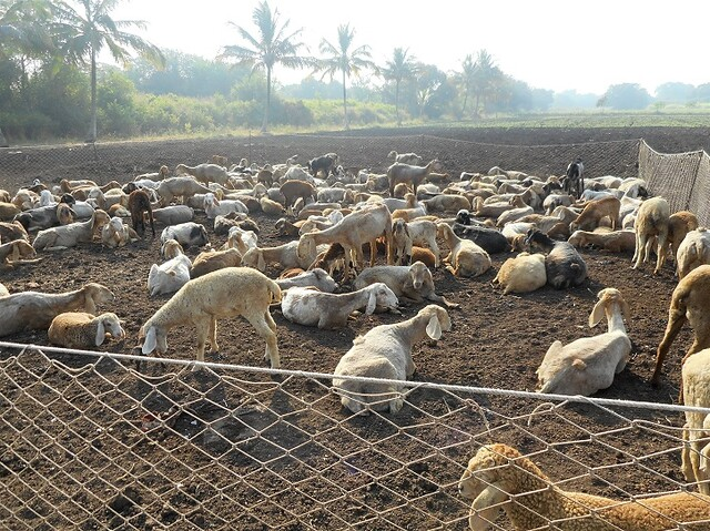 The sheep are made to sit in a farm on the farmer's request for a number of days in a fenced area called wada. During the day, the sheep are taken away to graze in the fields. The fenced areas are shifted from time to time and the sheep droppings provide manure in the fields. The Dhangars are paid a rent of approximately Rs 500 per day for this.