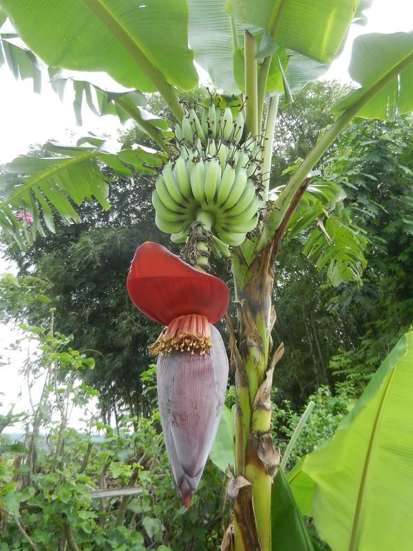 Бананы Бирма