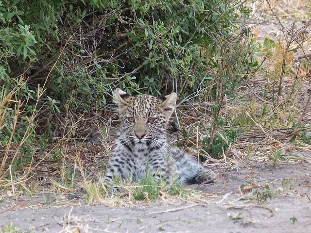 Cría de leopardo en Savuti (Chobe, Botswana)