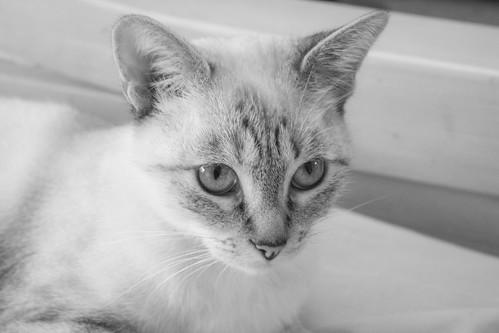 FALLECIDA- Violeta, gata siamesa tabby dulcísima esterilizada, nacida en Agosto´13, en adopción. Valencia. 22270476025_85311e104d