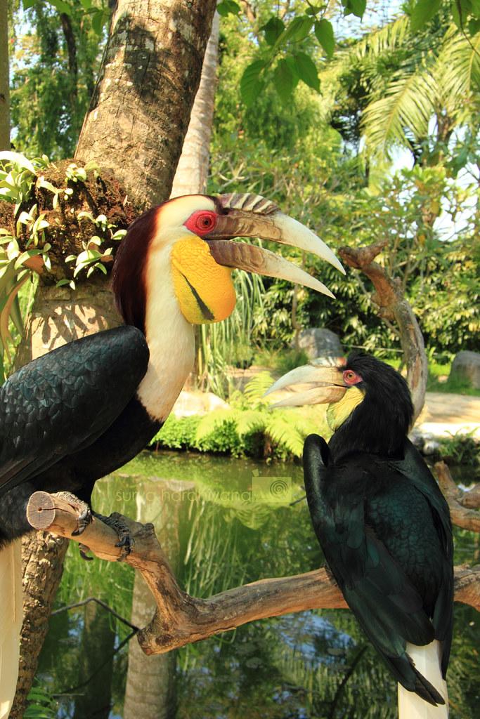 Burung Rangkong (Hornbill) di Bali Bird Park