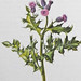 Akkerdistel / Creeping thistle / Cirsium arvense