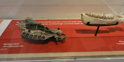 Image shows the jaws of Miohippus, 28 million years old, and Merychippus, 16 million years old, in a plexiglass case with a red base.
