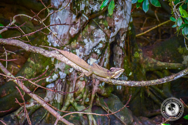 Jesus Lizard in Sierpe