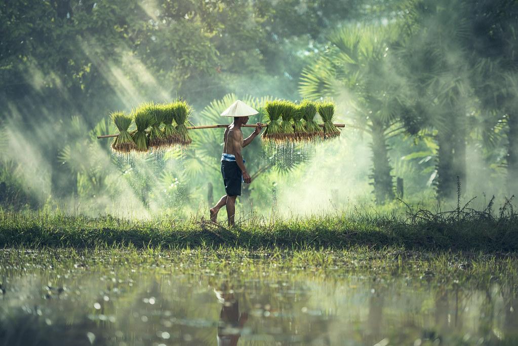 Dun 8353 rice farming farmers grow rice in the rainy for Fish river tree farm