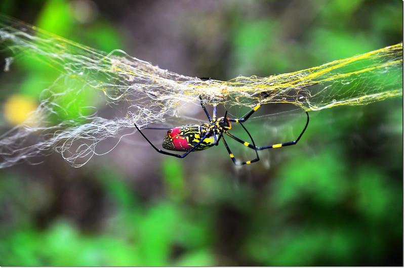 鬼臉蜘蛛 2