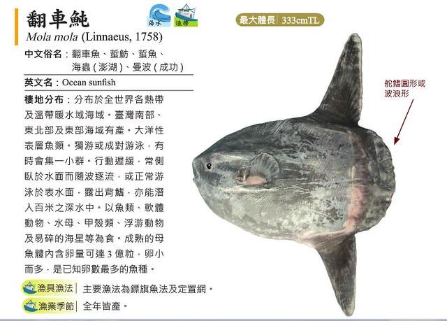 IUCN列為易危的翻車魚。圖片來源:臺灣常見經濟性水產動植物圖鑑