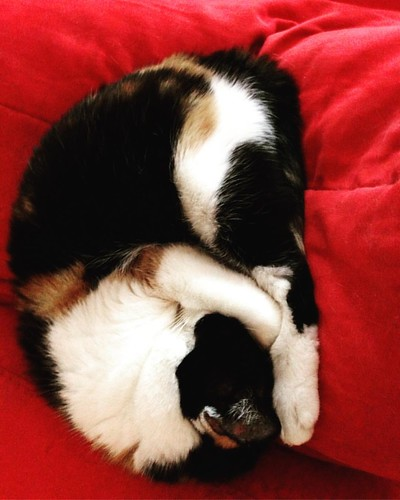 C'est dimanche : Lehti ferme la boutique 😺 #cat #calicocat #catstagram