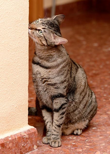 Tigris, gatita atigrada parda de ojazos verdes y cara redondita, tímida y sumisa esterilizada, nacida en Septiembre´15, en adopción. Valencia. ADOPTADA. 31916684233_cb87676a3f_z