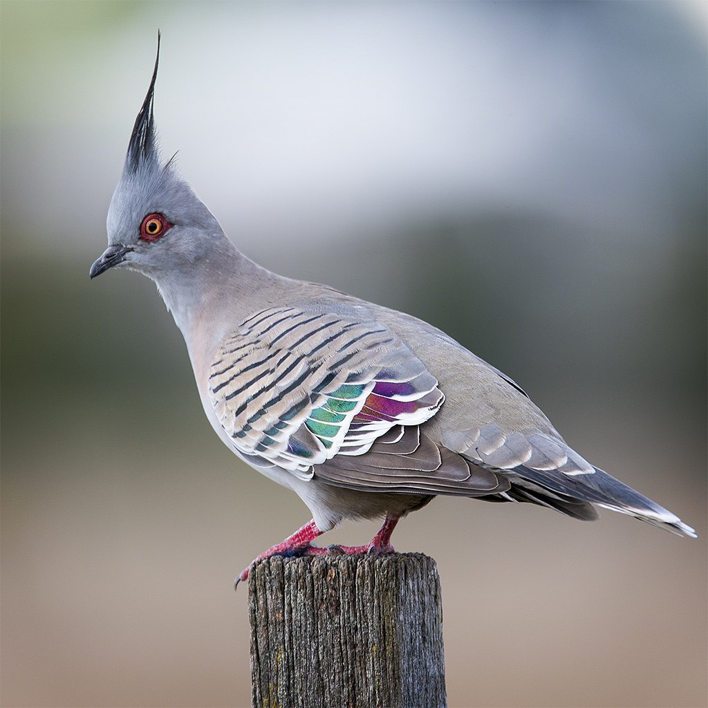 how to get aust pigeon rings