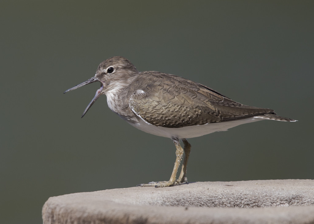 Common Sandpiper  The Gambia 2016-7