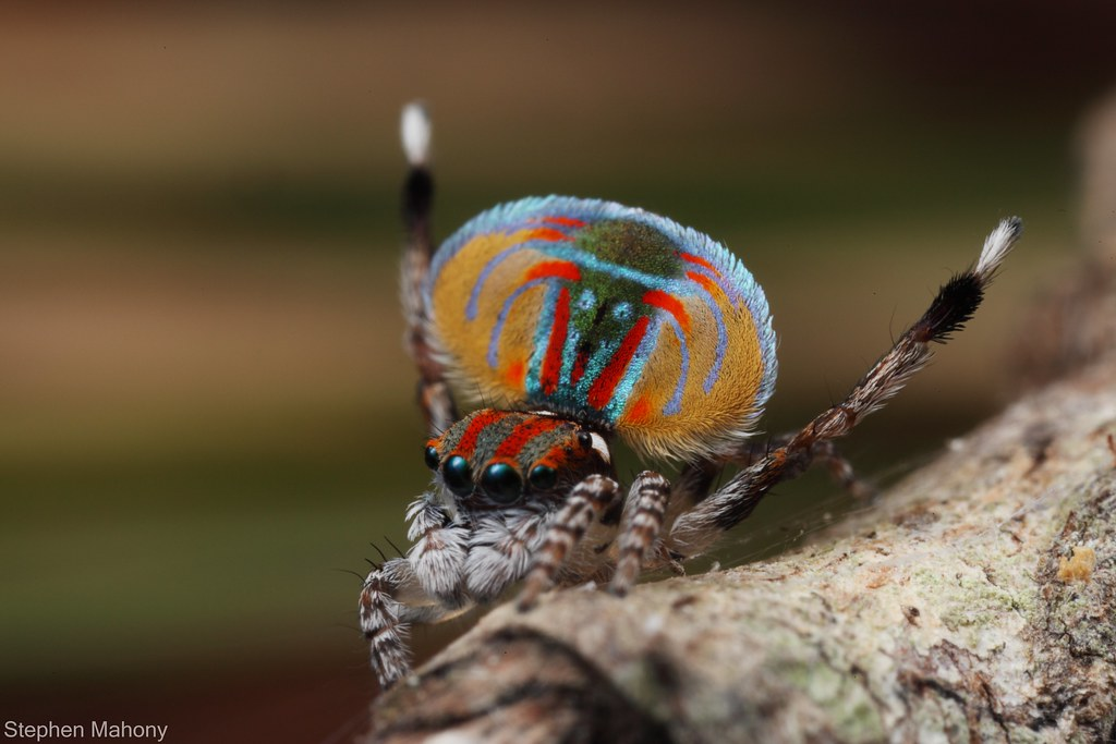 Peacock jumping spiders - photo#38