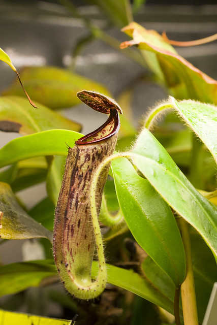 Nepenthes glandulifera BE sg
