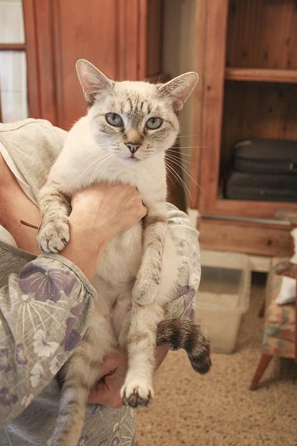 FALLECIDA- Violeta, gata siamesa tabby dulcísima esterilizada, nacida en Agosto´13, en adopción. Valencia. 22082430360_e45ac8636f_z