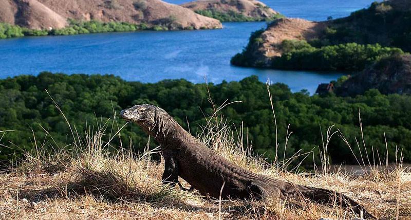 Komodo Island Dragon