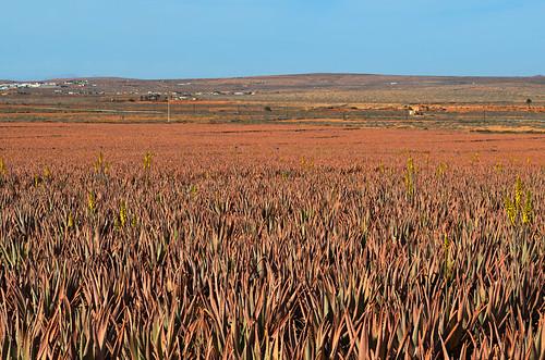 Aloe vera field, Fuerteventura, Canary Islands