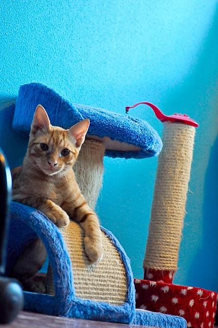 Jerry, gatito rubio guapo muy dulce y bueno, esterilizado, nacido en Abril´15 en adopción. Valencia. ADOPTADO. 20826623274_406cd7f6be_z