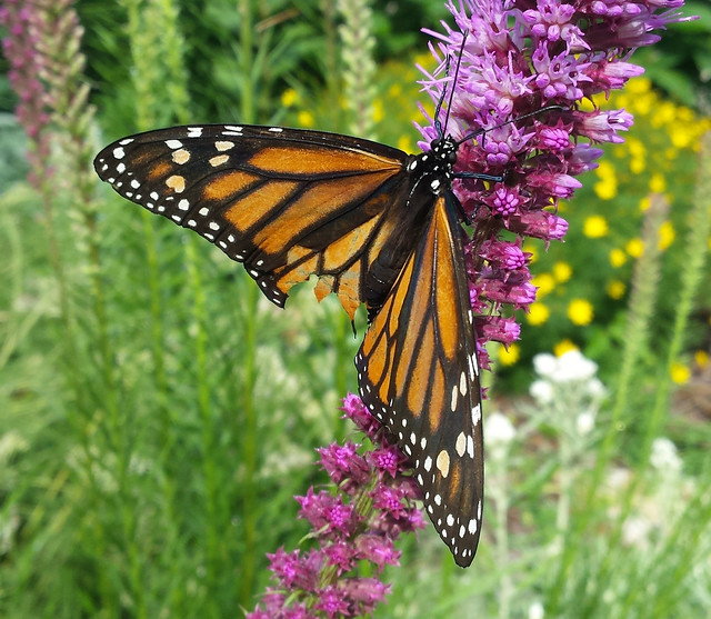 butterfly with wings spread and a chunk taken out of its lower wings, climbing on a purple flower stalk
