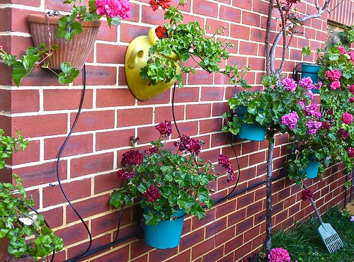 We fitted a drip watering system to our geranium wall for the impending summer