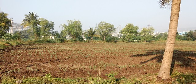 Agricultural lands on the outskirts of Pune city are now largely under the grip of the real estate industry. Few sections of agricultural land remain out of it where the Dhangars visit with their sheep and goats.