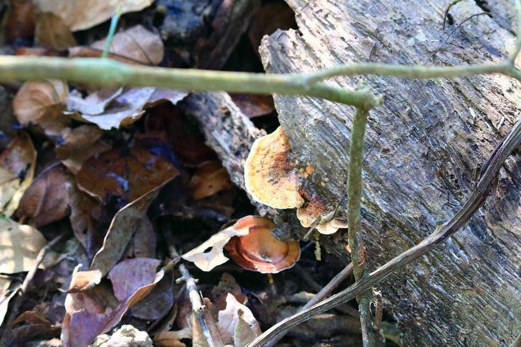Mushrooms growing on dead trees