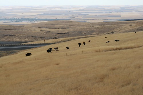A wide shot of cows grazing on brown grass out in middle of nowhere, Oregon.