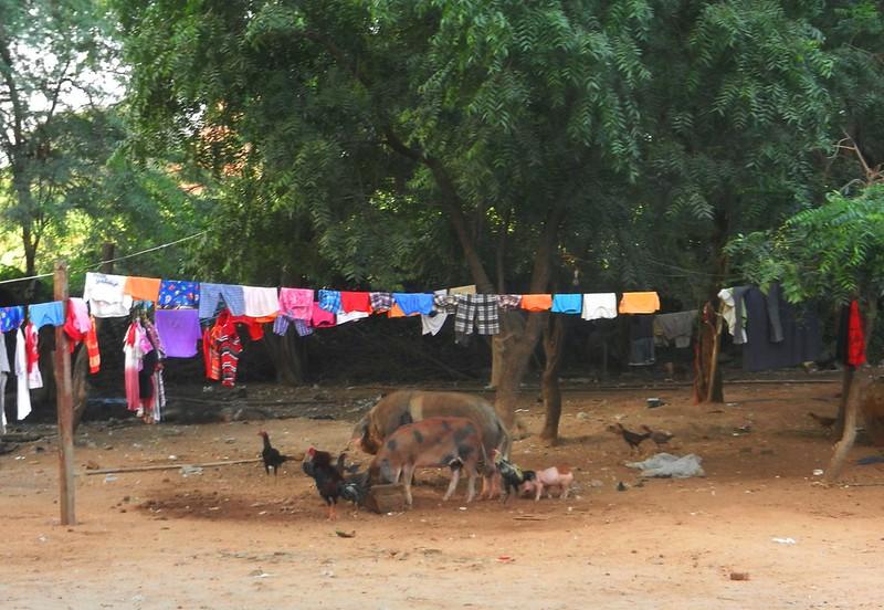 Бирманские свинята