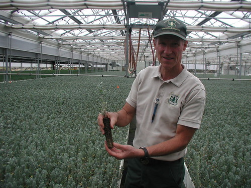 John Sloan, the assistant nursery manager at the Lucky Peak Nursery, showing off a one-year old container-grown sagebrush seedling