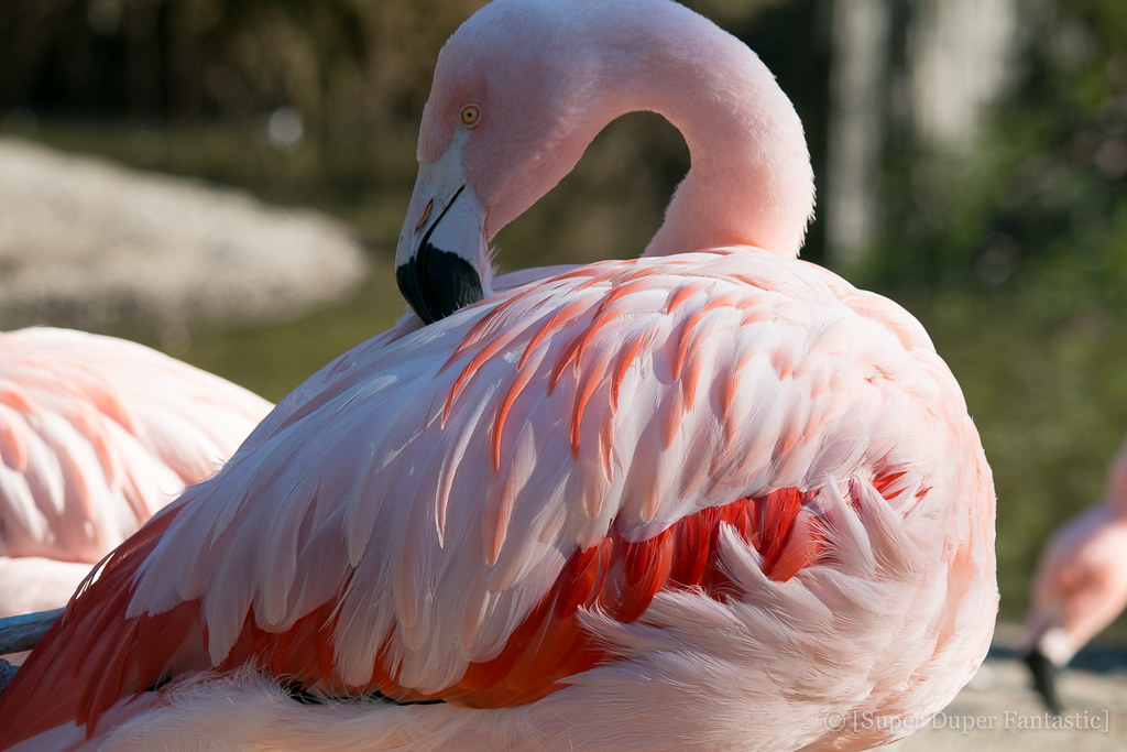 San Francisco Zoo - Flamingos