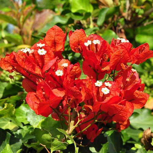 """Wie sieht eigentlich jetzt, im Herbst 2016, der Citrus-Garten des Mannheimer Luisenparks aus? Schön sieht er aus! Gleich neben dem """"Waldgeist"""", einer Motorsägearbeit von Rolf Bergmann, geht es durch ein schmiedeeisernes Tor mit hübschem Zitronenschmuck in den Citrus-Garten hinein. Toll ist es hier, richtig südlich - und das nicht nur nicht nur wegen der paar Sonnenstrahlen. Ich finde es immer wieder faszinierend, dass an den Pflanzen gleichzeitig Blüte und Früchte erscheinen ... Fotos: Brigitte Stolle Mannheim 2016"""
