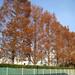 園田学園グラウンドの並木