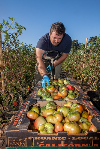 U.S. Army Veteran Matt Smiley harvesting heirloom tomatoes at Jacobs Farm