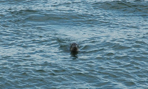 Picture of an otter's head poking up in the sea.