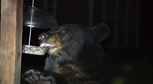 Photo of bear eating from a birdfeeder