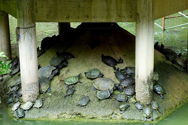 The tortoises in the Liberation Pond